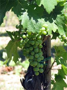 Verdicchio, een ideale Italiaanse zomerwijn