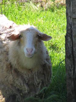 Pecorino, de schapenkaas van Italie